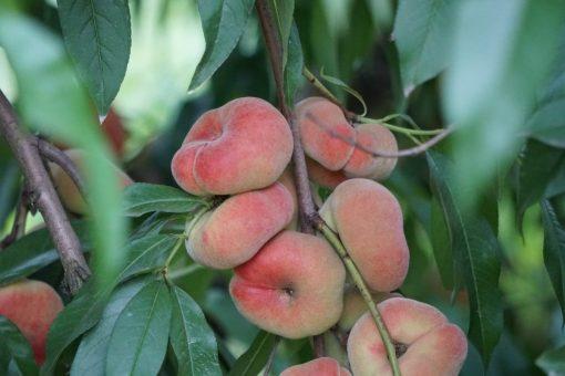 donut peach stark saturn