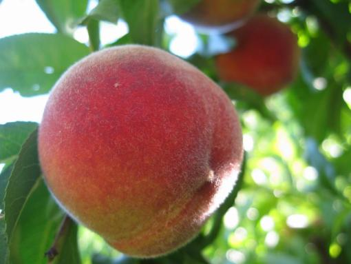 peach tree suncrest