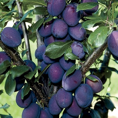 stanley plum Tree