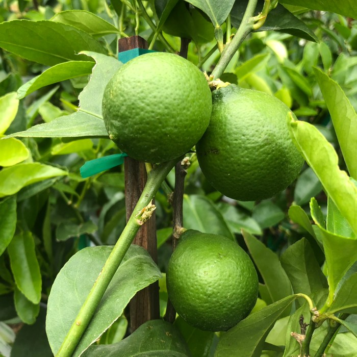 bears seedless lime