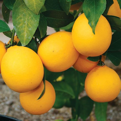 Improved Meyer Lemon