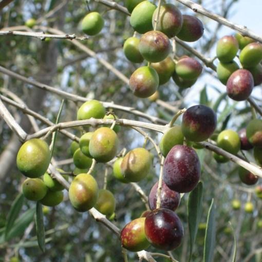 olive pendolino