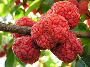 che chinese mulberry