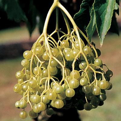 elderberry goldbeere