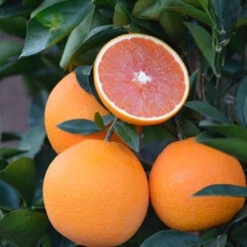 cara cara navel orange