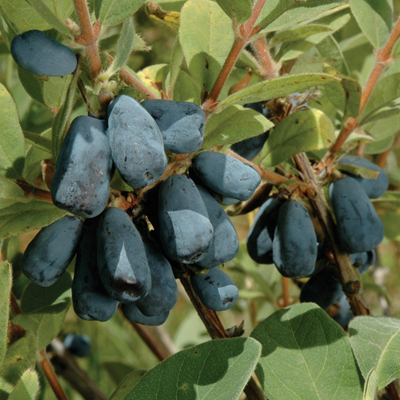 honeyberry berry blue