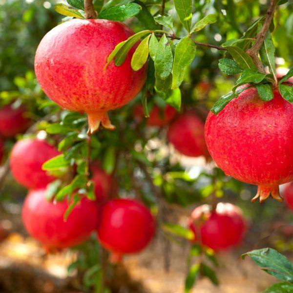 parfianka pomegranate