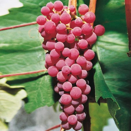 grape vine suffolk red