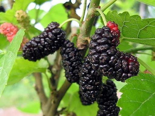 mulberry illinois everbearing