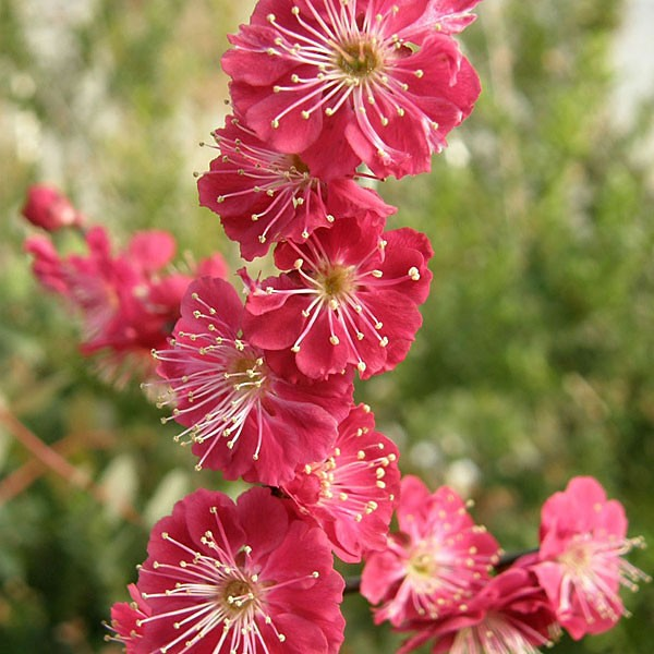 flowering apricot bungo