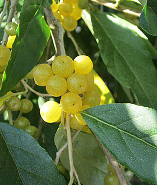 autumn olive amber