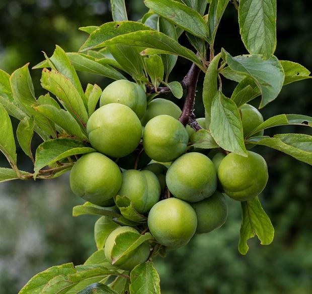 persian green plum