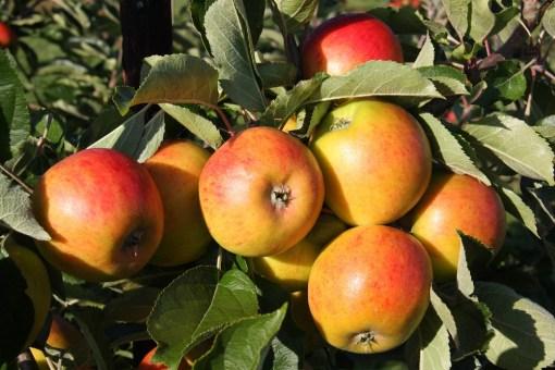 apple tree holstein
