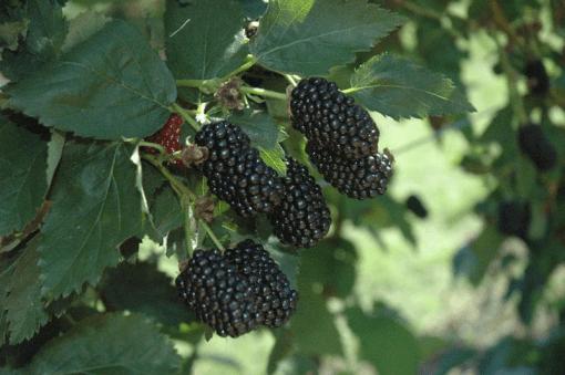 blackberry prime ark traveler