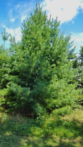 korean stone pine