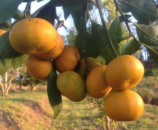 mandarin okitsu wase satsuma