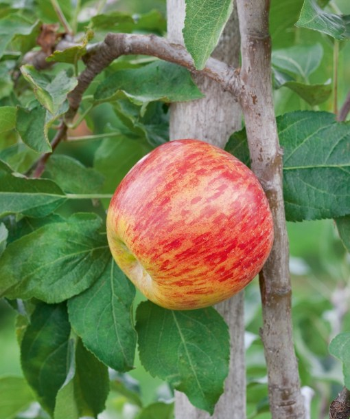 apple tree gravenstein