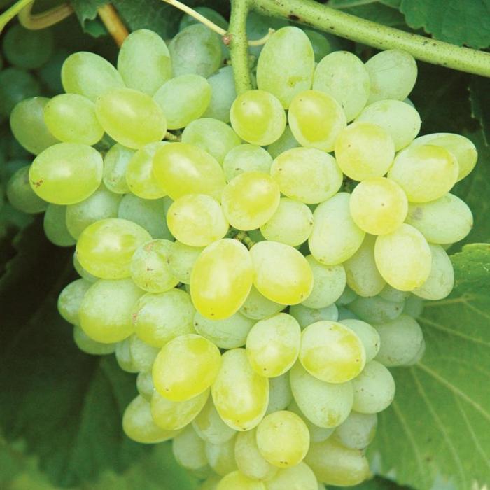 grape vine hope