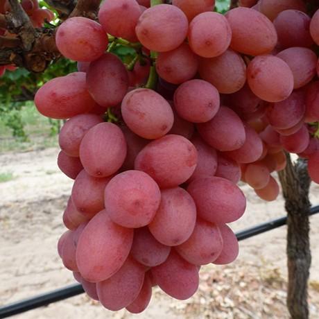 grape vine reliance