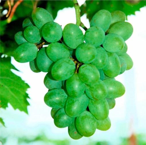 grape vine gratitude