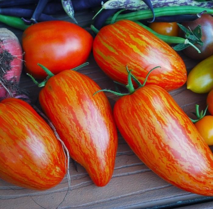 speckled roman tomato