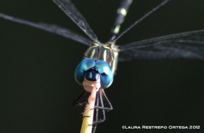 Blue Dragonfly Close-up 2