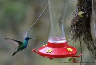 colibrí chillón 14
