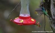 colibrí chillón 5