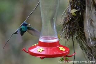 colibrí chillón 4