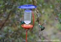 colibrí verdemar 2