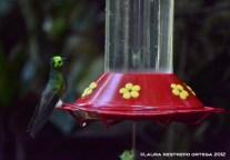 colibrí chupasavia 1