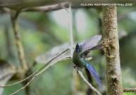 cometa colivioleta macho 1