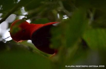 rupicola peruvianus 31