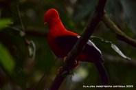 rupicola peruvianus 42