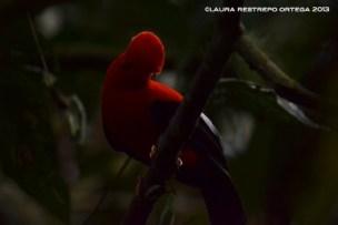 rupicola peruvianus 50
