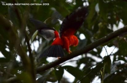 rupicola peruvianus 6