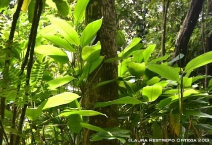 20 capurgana 6 hojas