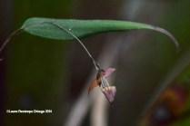 reserva orejiamarillo orquídea 5