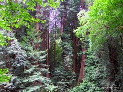 SF Muir Woods 1