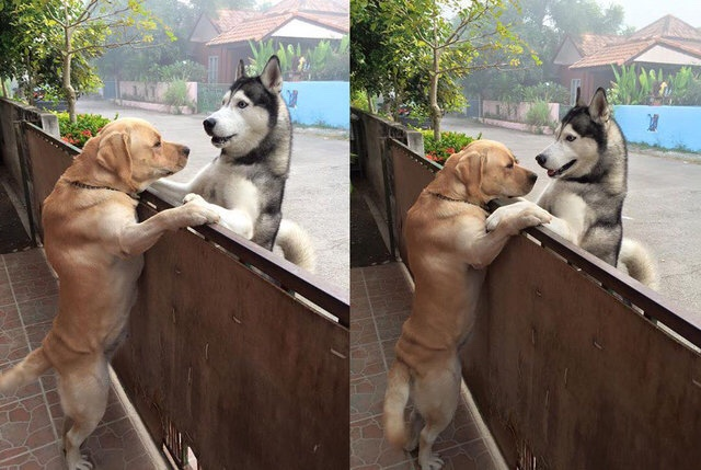 Lonely Husky Escapes Owner's Yard To Hug Labrador Retriever Best Friend
