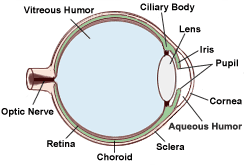 Diagram Of The Eye Retina Research Foundation