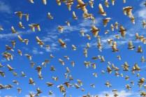 Cockatoos at De Grey River