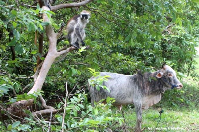 Jozani Forest Colobus Monkey - Touring Zanzibar In the Rain.jpg