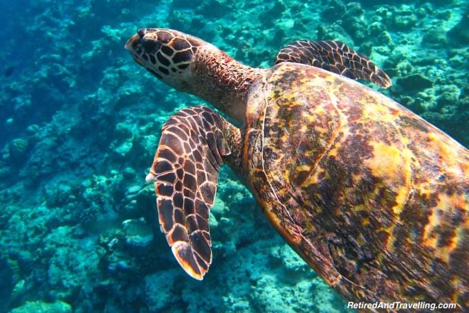 Green Sea Turtle - Snorkelling in the Maldives.jpg