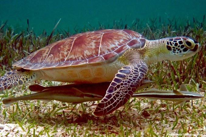 Nassau Snorkel Turtles.jpg