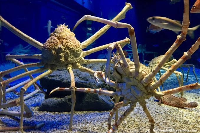 Giant spider crab - Whale Sharks at the Osaka Kaiyukan Aquarium.jpg