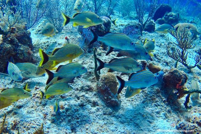 Fish Schooling - Scuba Diving in Grand Cayman.jpg