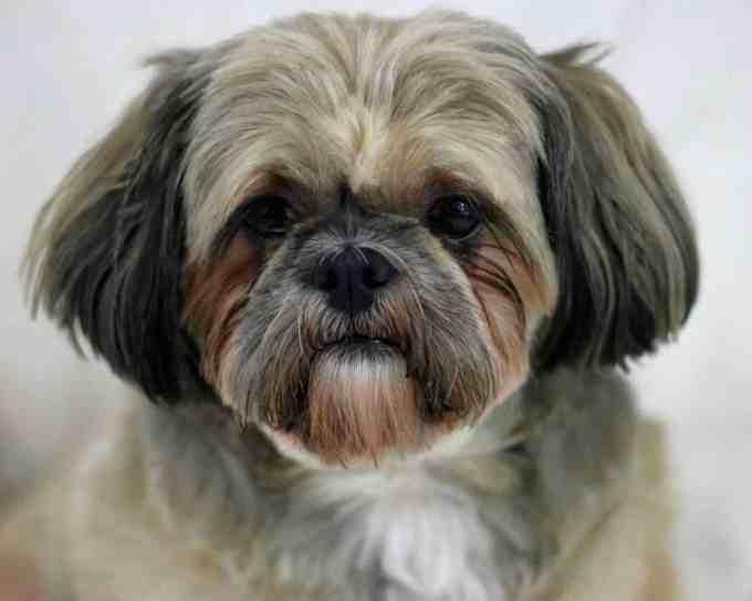 dog breeds for seniors - Shih Tzu