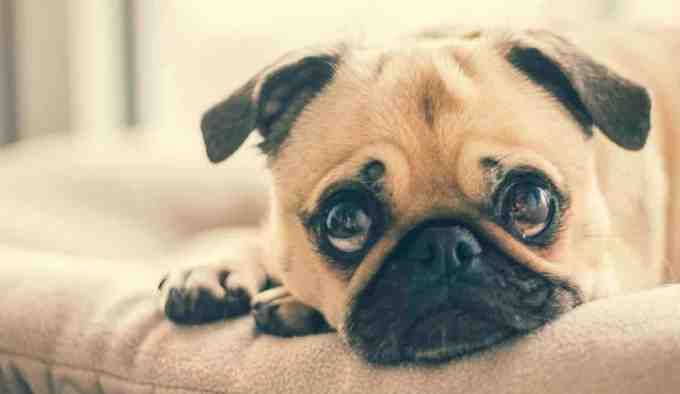 best lapdogs for seniors - pug