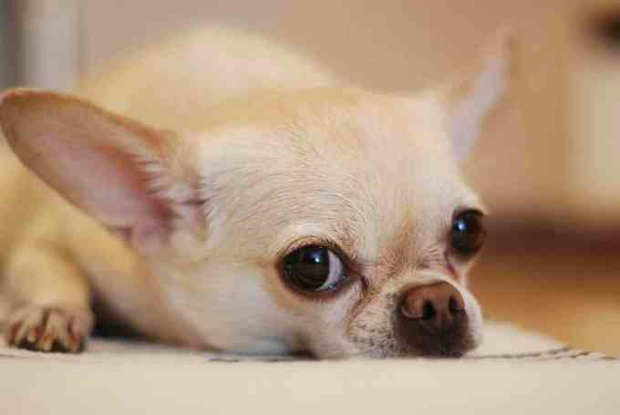 dogs for seniors - Chihuahua